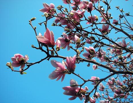 20090429_magnolia.jpg