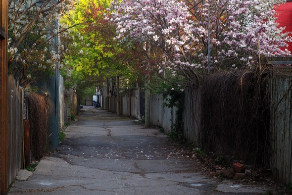 spring,magnolia,alley,Montreal,leaves,trees