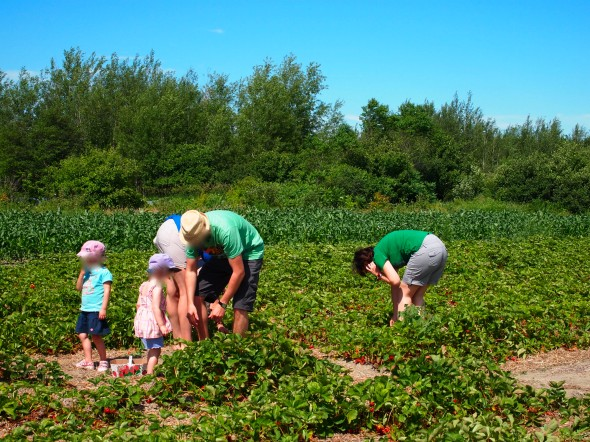 strawberry-picking-l'anse-au-sable-quebec-3