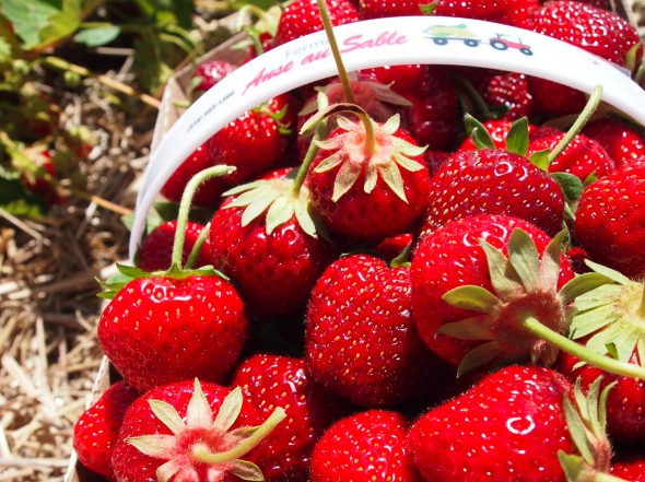 strawberry-picking-l'anse-au-sable-quebec